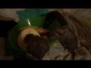 Крысы едят дыню