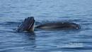Рыба сама заплывает в пасть кита! Snippet: New humpback whale fishing tactic—pretending to be a pond