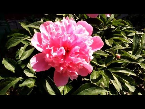 Светлый – пионы, ирисы, ромашки! Сбор липового цвета, лечебных трав/от 60 км/свинец – в чай((