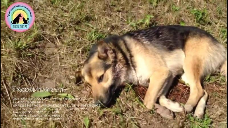 Грибники нашли собаку с пулевым ранением подстреленную охотниками injured animal help this dog