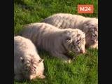 У бенгальских тигров Хасана и Шахерезады родились трое котят