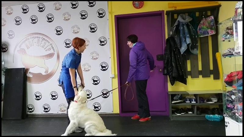 Подготовка собаки к выставке. Груминг . Хендлинг . Хендлер .