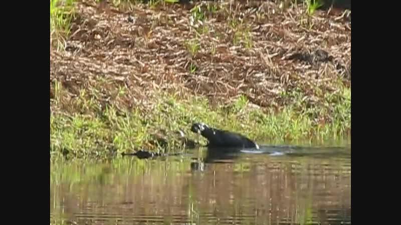 Взаимодействие выдры и молодого аллигатора