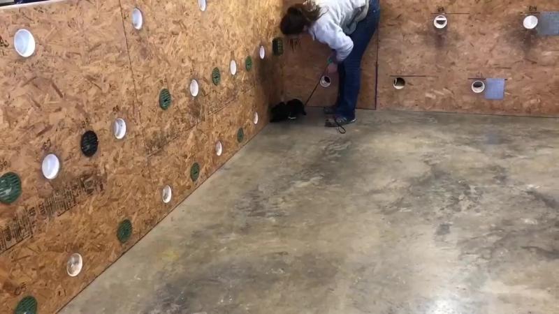 12-недельный Паттердейл-терьер учится обнаруживать работу с использованием пищи. Удивительная работа от Логан Хаус Кеннелс!