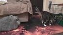 Приучение крольчат породы немецкая ангора к жизни в квартире. Фильм 3