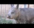 Female wombat call