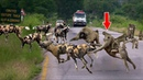 Powerful Baboons Not Afraid Of Any Opponent Baboons vs Wild Dogs Lion Leopard Crocodile