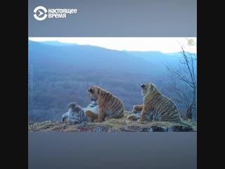 Амурские тигрята играют в приморском нацпарке