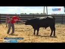 Благодаря молодому фермеру в Марий Эл появится деликатесная мраморная говядина