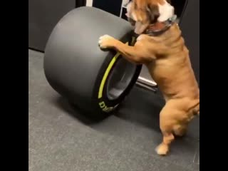 Roscoe inspecting the tyres