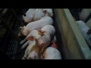 Extreme Animal Abuse Uncovered at JBS Pork Supplier