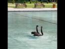 Танец черных лебедей в Лебедином озере