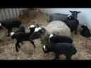 Разведение овец как идея для бизнеса