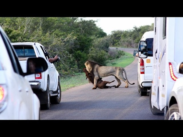 Lion kills warthog in Kruger National Park - Kruger Stories