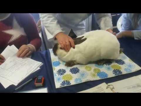 Оценка кролика породы Калифорнийская эксперт Даце Каула МИНСК 2019