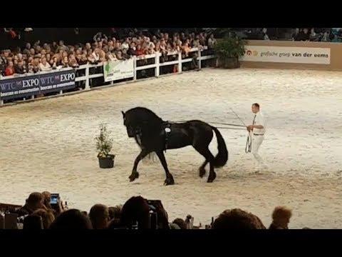 Friesian horse Beart 411, faderpaard, hengstenkeuring 2018. Son of Jasper 366