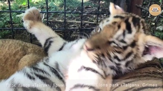 Неугомонный тигрёнок. Тайган. Крым. Restless tiger. Taigan. Crimea.