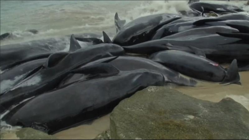 Спасение черных дельфинов в Австралии