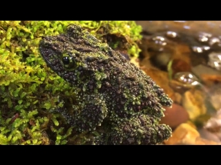 Vietnamese Mossy Frog (лат. Theloderma corticale)