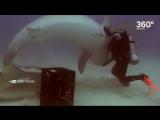 Дайвер гипнотизирует акул