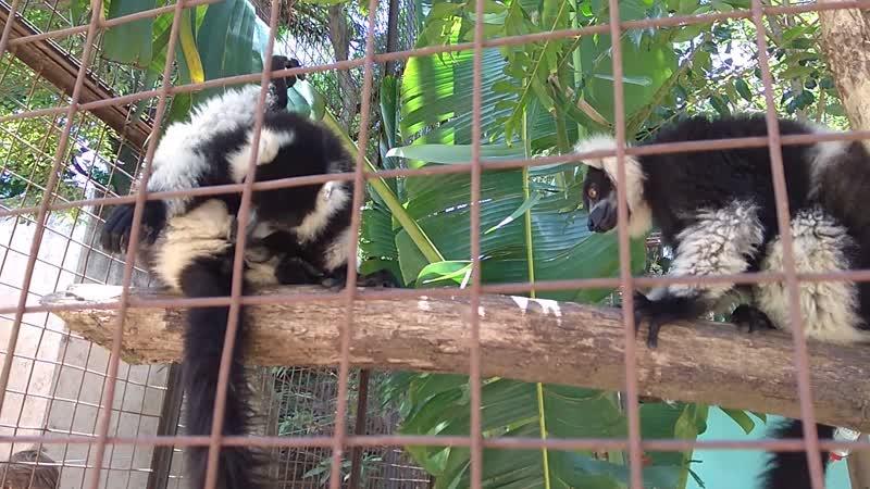 Лемуры в Мадагаскарском зоопарке :)