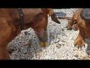 Таксы и мармеладные мишки Dachshunds gummy bears