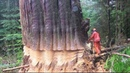 Dangerous Technology Fastest Biggest Tree Top Felling Cutting Down Latest Turbo ChainSaw Skills