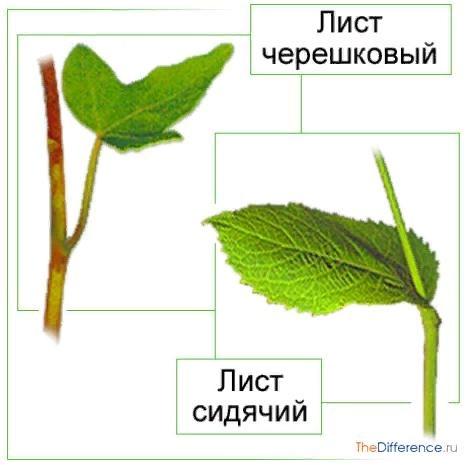 Разница между листьями У растений, несмотря на разнообразие их видов, можно выделить определенные одинаковые части. Одной из них является лист. Каковы его функции, и чем отличаются листья друг