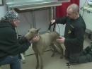 Chops doberman back spasms weak leg arthritis Animal Veterinary Chiropractic VOM