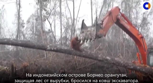 Орангутан бросился на ковш экскаватора, спасая свой лес