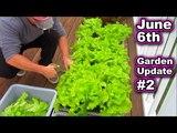 Container Garden Harvest Update June 6th Lettuce Tomato Kale Vegetable Gardening Raised Bed