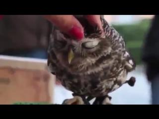 ЛУЧШИЕ ПРИКОЛЫ Массаж головы птицы совы нашки няшные животные приколы с животными няшечки сова Юмор!.mp4