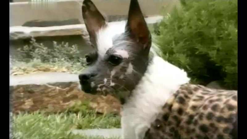 101 dogs - Введение в собаковедение - Перуанская орхидея инков