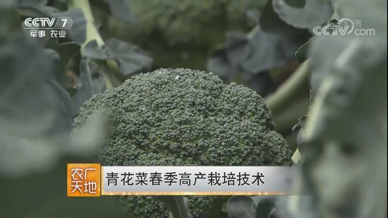 Брокколи, или Спаржевая капуста ''ЦинХуаЦай'', переводится как ''блюдо из зелёных, или сине-белых цветов'', либо ''Eцайхуа'' (цв