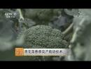 Брокколи или Спаржевая капуста ЦинХуаЦай переводится как блюдо из зелёных или сине белых цветов либо Eцайхуа цв