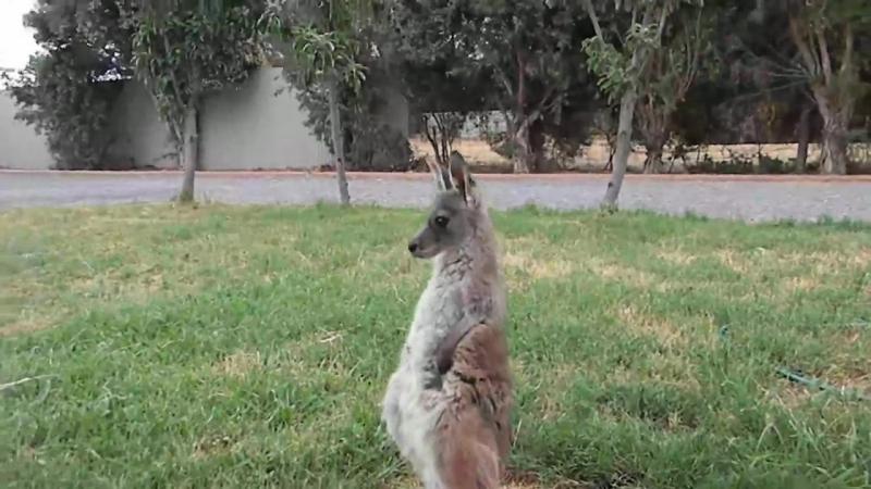 кенгуру на движухе
