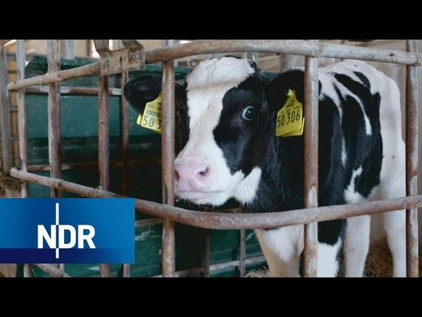 Kälberaufzucht Fütterung und Haltung - Armes Kalb | 45 Min | NDR