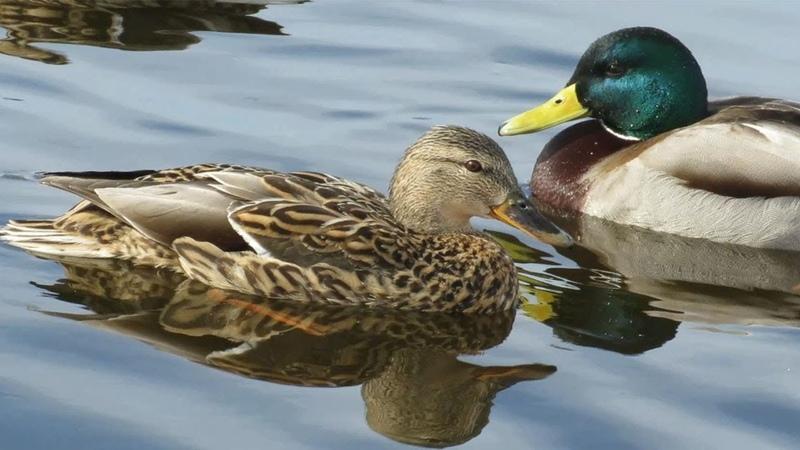 Утки прикольно крякают Funny ducks quack