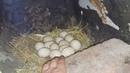 Мускусные утки занеслись -забирать яйца или нет / musky ducks were carried /индоутки / шипуны