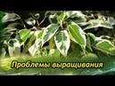 ФИКУС БЕНДЖАМИНА сбрасывает листья Проблемы выращивания и их решения