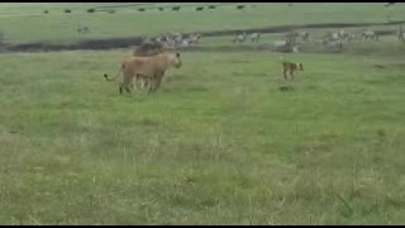 Leões vão pra cima de cachorro e vejam o que acont