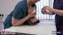Введение препаратов в ухо у кошки / Administering aural products to cats
