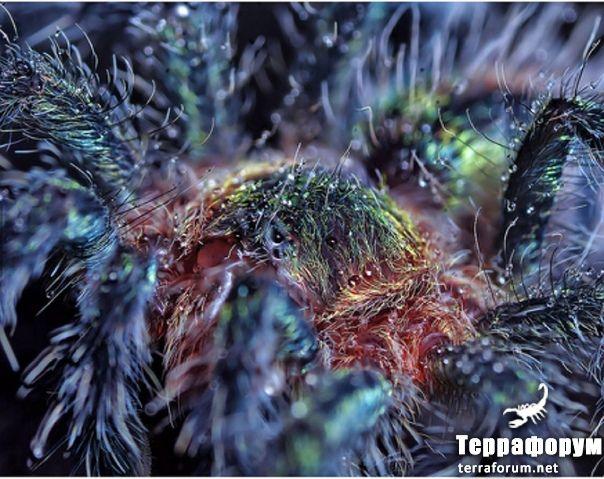 Avicularia-diversipes
