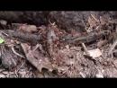 Муравьи заживо сожрали ящерицу
