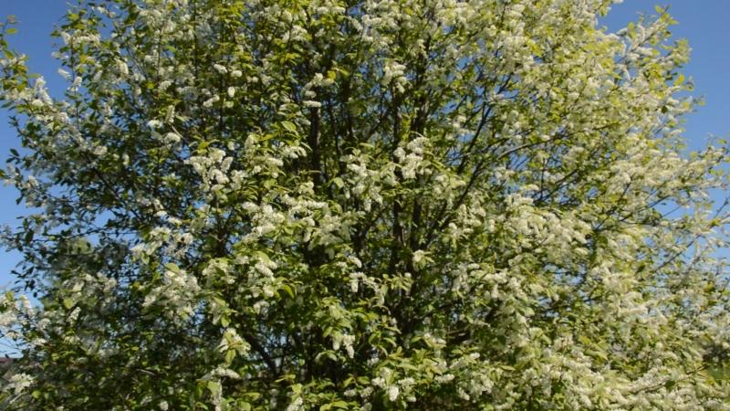 Чириканье птиц среди цветов черемухи .Видео - В .Барабановой .