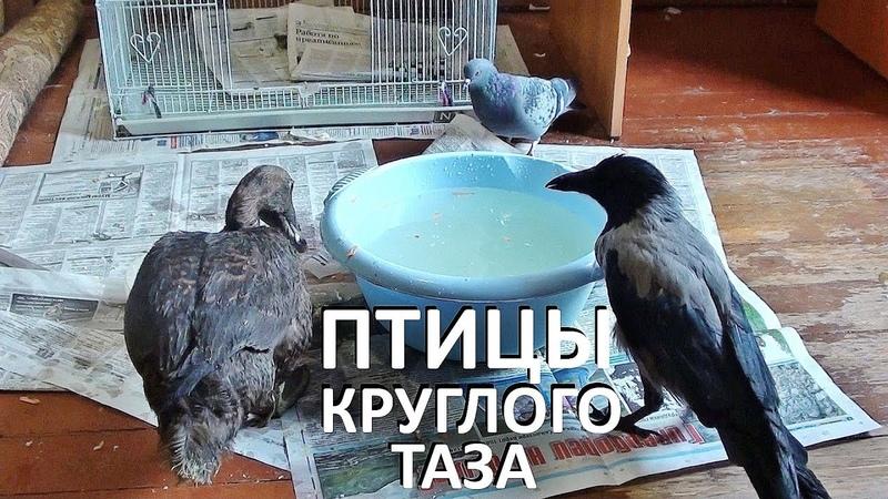 ПТИЧИЙ БЕСПРЕДЕЛ ПТИЦЫ КРУГЛОГО ТАЗИКА утка ворона голуби собаки и кошки