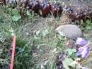 ёжик в саду-2