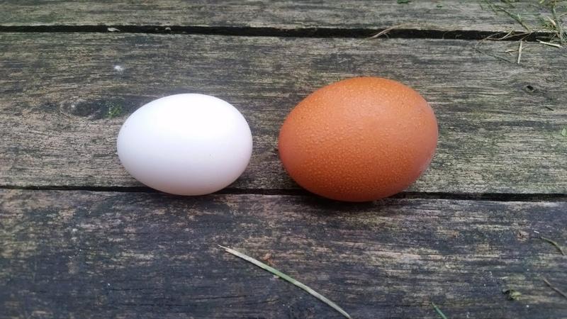 Jajko z biedronki a z wolnego wybiegu - test jajek na zawartość białka i żółtka