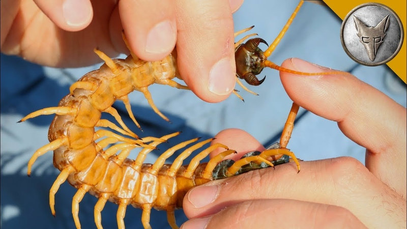 Centipede Bite Worse Than ALL Stings!