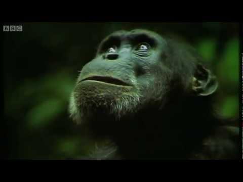 The Chimpanzee's Monkey Ambush Predators BBC